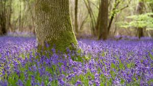 Bluebell tree[1371]